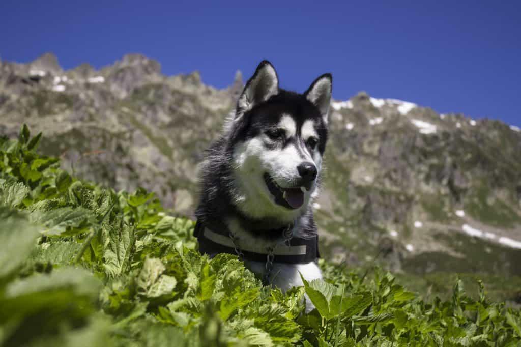 husky-geschenk